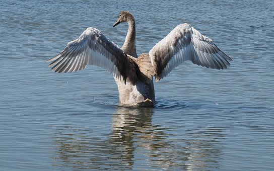 Nature, Birds, Swans, Wings, Pond
