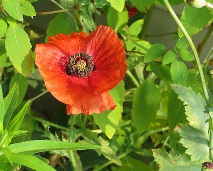 Red, Poppy, Flower, Summer, Bloom, Plant, Color