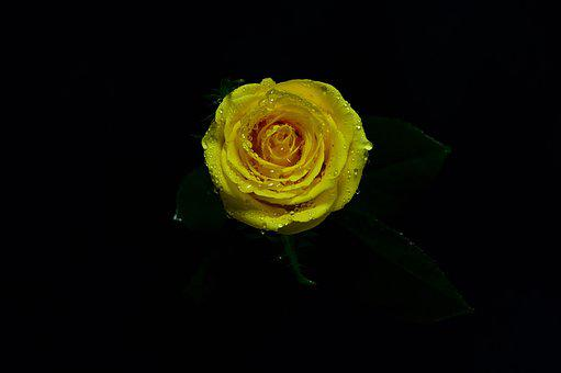 Yellow, Rosa, Natural, Nature, Bello, Water, Fresh