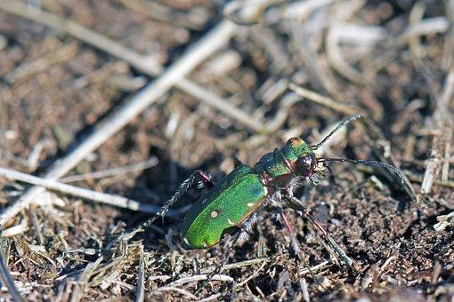 Sand Run Beetles, Beetle, Carabids, Cicindela