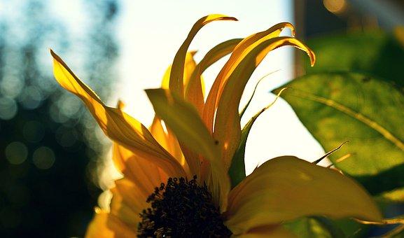 Sunflower, Detail, Sunlight, Evening, Petals, Yellow