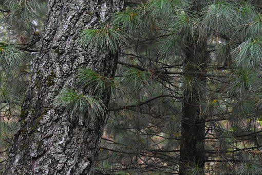 Needles, Tree, Needle, Trunk, Forest, Pine, Evergreen