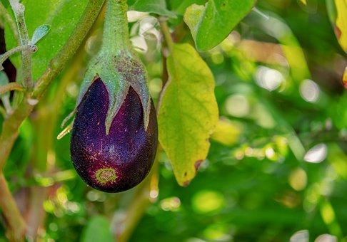 Eggplant, Solanum Melongena, Field, Harvest, Vegetables