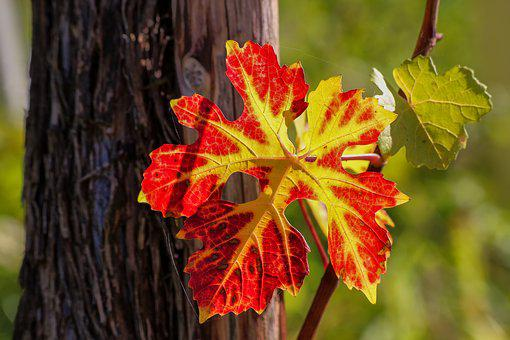 Wine Leaf, Vine, Nature, Plant, Tree, Colorful, Autumn