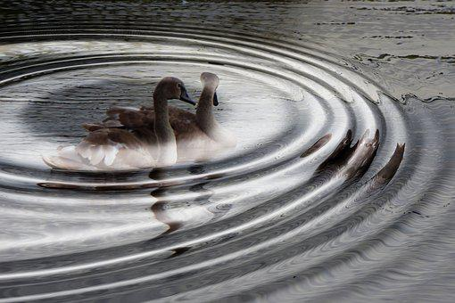 Swans, Young Swans, Water Waves, Water