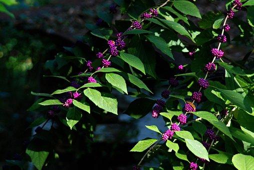 Wild Flowers, Fall Flowers, American Beauty Berry
