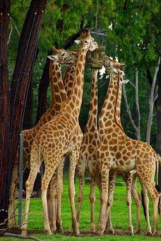 Giraffes, Necks, Africa, Heads, Wildlife, Wilderness