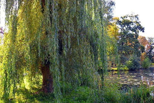 Pasture, Weeping Willow, Trees, Willow Tree