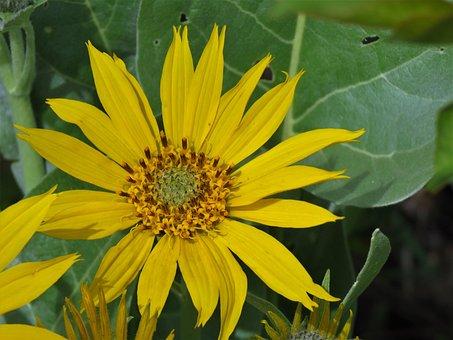 Wild Flower, Yellow, Green, Hiking, Wyoming