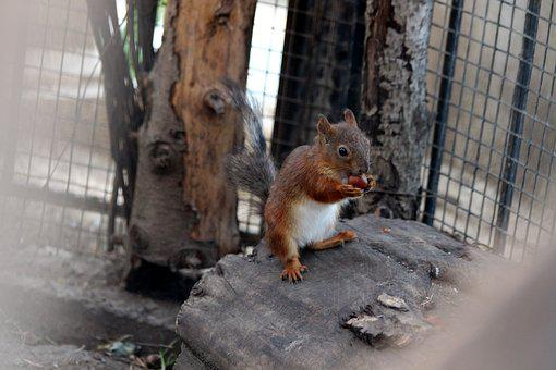 Squirrel, Young, One, Nibbles, Redhead, Filbert