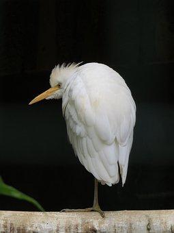 Bird, White, Animal, Nature, Plumage, Bill, Feather
