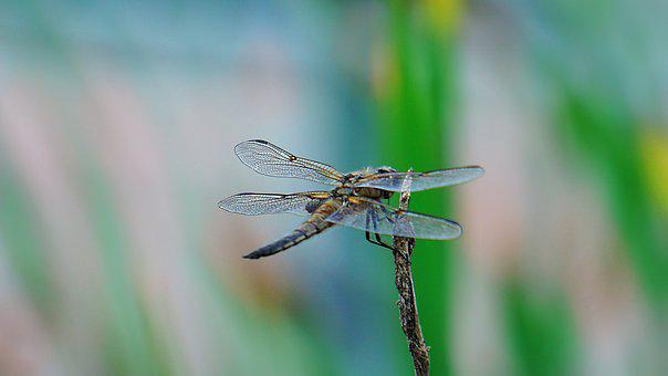 Dragonfly, Animal, Nature, Insect, Wing, Macro, Summer