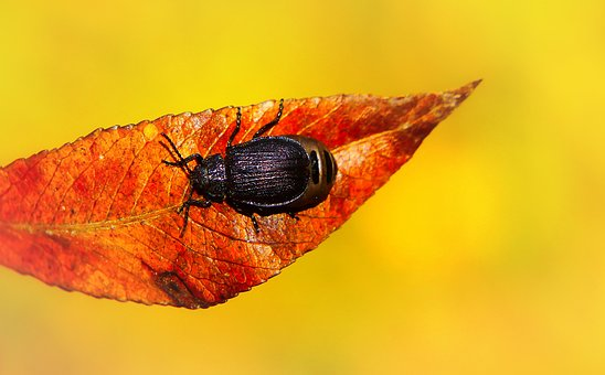 Autumn, Seasons Of The Year, Leaf, The Beetle, Animals