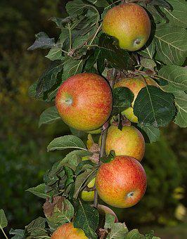 Apple, Branch, Apple Tree, Kernobstgewaechs, Autumn