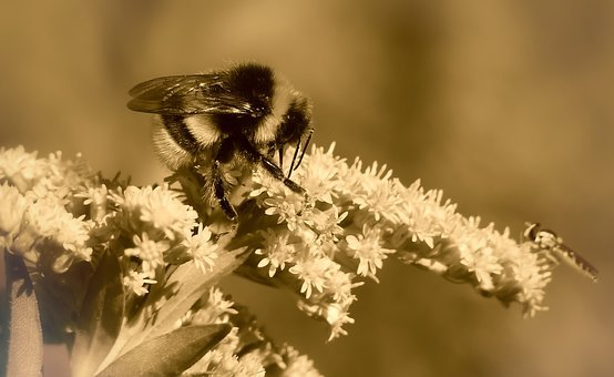 Bumblebee Gas, Insect, Autumn, Flower, Apiformes
