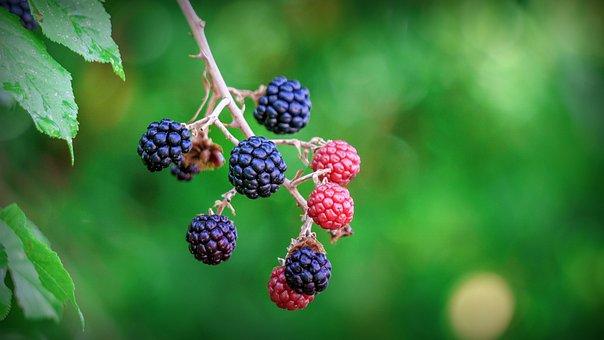 Blackberries, Berries, Fruit, Healthy, Fresh, Food