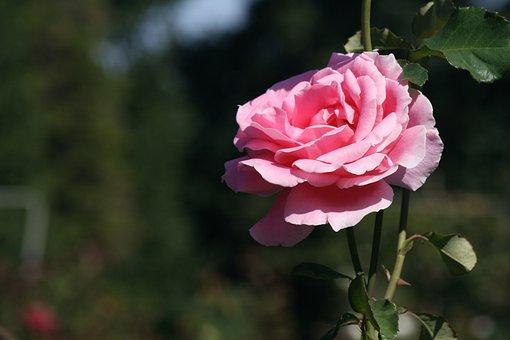 Rose, Flower, Blossom, Bloom, Nature, Love, Pink