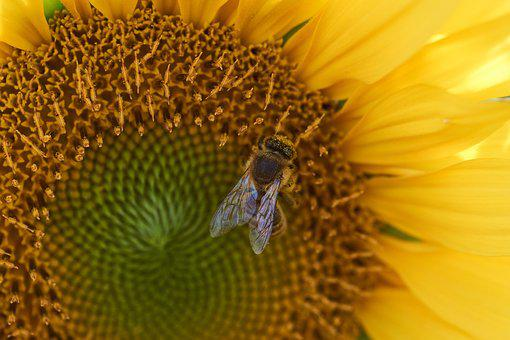 Bee, Yellow, Pollen, Blossom, Bloom, Pollination, Sun