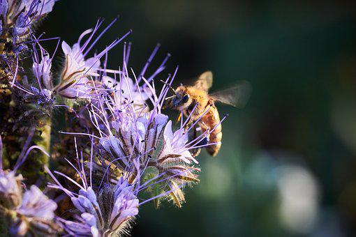 Bee, Flight, Pollination, Nature, Insect, Blossom