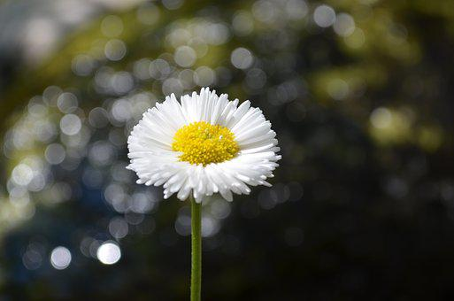 Daisy, Close Up, Garden, Blossom, Bloom, Nature, Flower