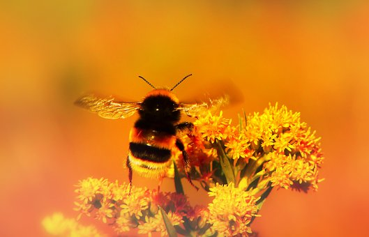 Bumblebee Gas, Insect, Apiformes, Antennae, Fly