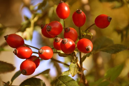 Rose Hip, Wild Rose, Fruits, Roses, Nature, Autumn, Red