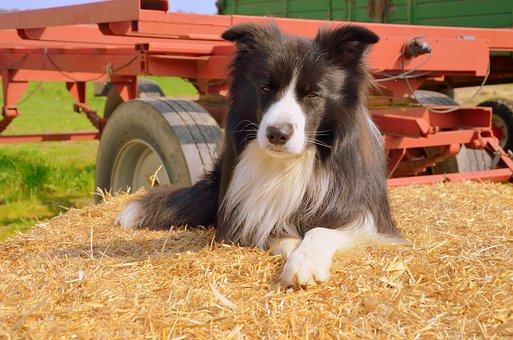 Herding Dog, Border Collie, Purebred Dog, Attention