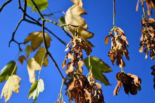 Indian Summer, Maple, Fruits, Nose Zwicker, Leaves