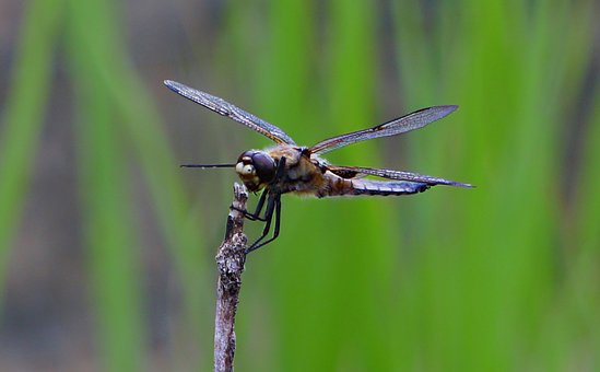 Dragonfly, Animal, Nature, Insect, Wing, Macro