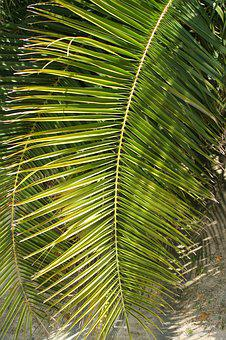 Palm Leaf, Nature, Tropic, Plants