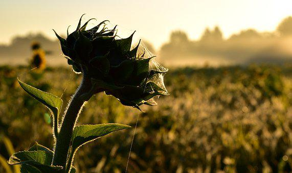 Sunflower, Indian Summer, Spider Webs, Autumn, Nature