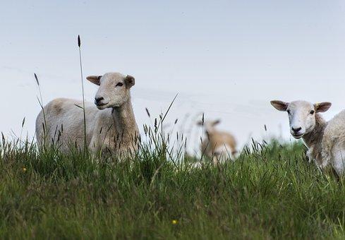 Sheep, Grass, Nature, Pasture, Livestock, Wool
