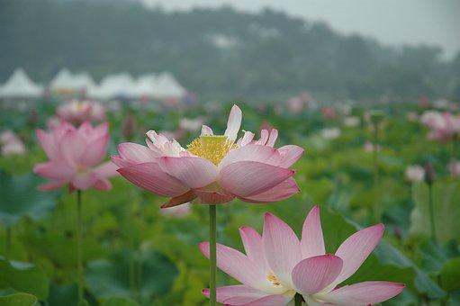 Lotus, Flowers, Nature, Plants, Lotus Leaf, Petal