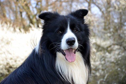 Border Collie, Close Up, Purebred Dog