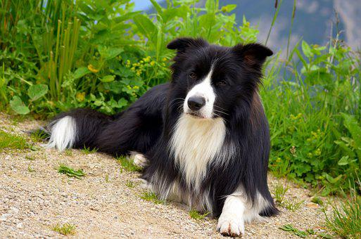 Purebred Dog, Border Collie, Herding Dog