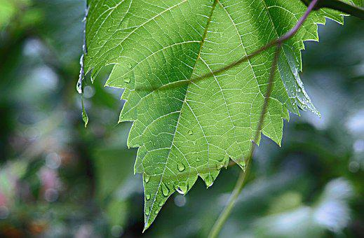 Leaf, Wine Leaf, Nature, Plant, Rain, Raindrop, Wet