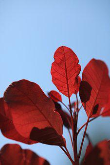 Leaf, Foliage, Red, Blue, Cotinus, Autumn, Macro, Tree
