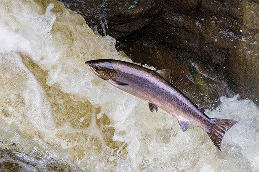 Salmon, Leaping, Salmon Leaping, Salmon Jumping