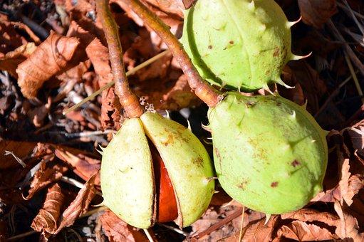 Chestnut, Horse Chestnut, Fruits, Prickly, Shell, Green