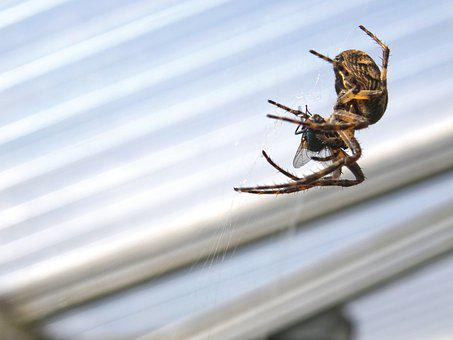 Spider, Spider Catches Fly, Araneus