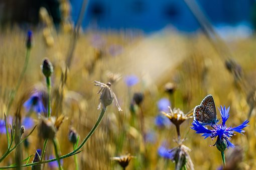 Butterfly, Field, Summer, Nature, Insect, Meadow