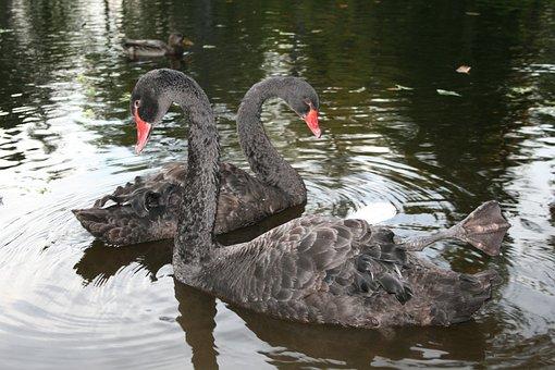 Black, Swan, Nature