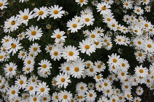 Their Mums, Chrysanthemum, Gujeolcho, Wildflower