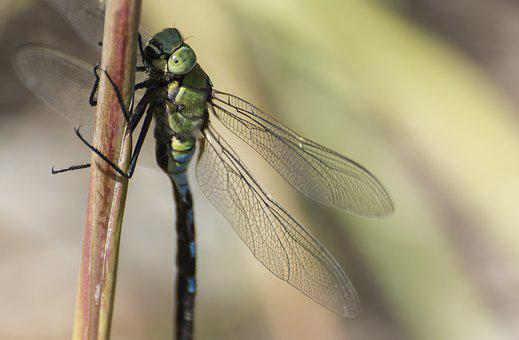 Insect, Dragonfly, Nature, Wing, Green, Flight, Summer