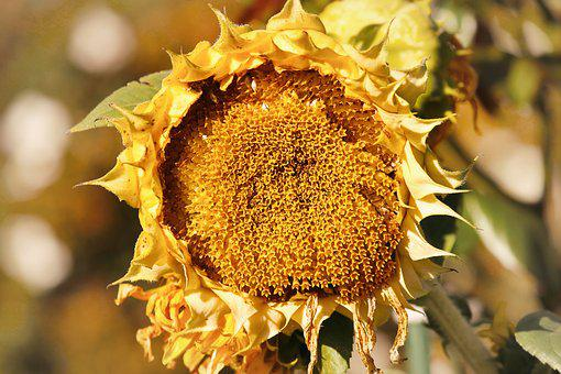 Sunflower, Autumn, Helianthus, Fade, Age