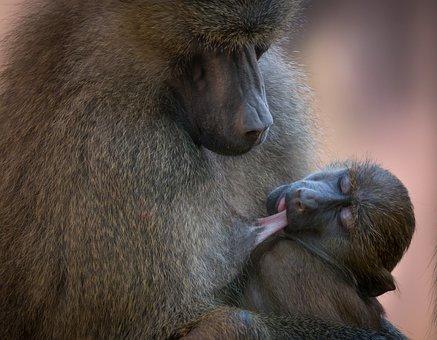 Baboon, Monkey, Animal, Zoo, Nature, Tiergarten