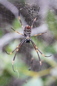 Spider, Golden Orb, Web, Arachnid, Arthropod, Mangrove