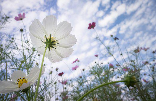 Cosmos, Autumn, Nature, Flowers, Plants, Bright