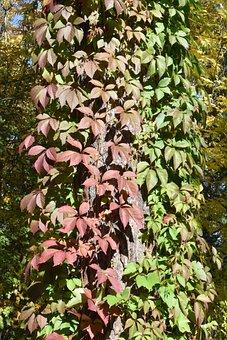 Multi Colored, Vines, Tree, Autumn, Flora, Novosibirsk