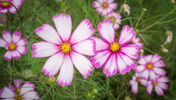 Cosmos, Autumn, Nature, Flowers, Plants, Pink